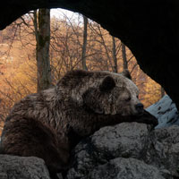 bear hibernating in cave